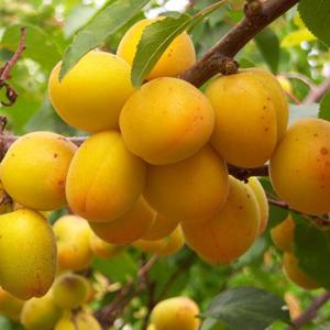 Сорт абрикоса горный