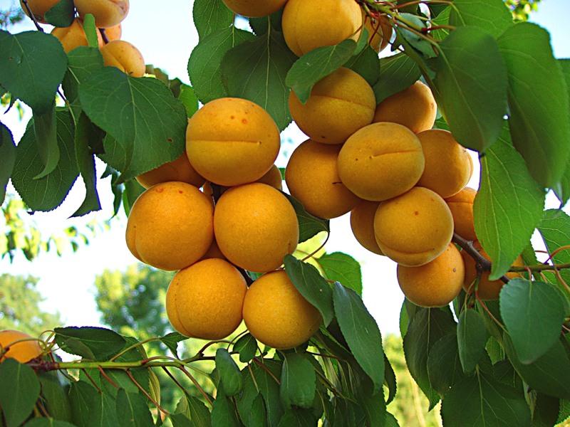 сорт абрикоса сирена фото и описание